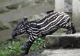 1327863380 tapir6s Тапир чепрачный