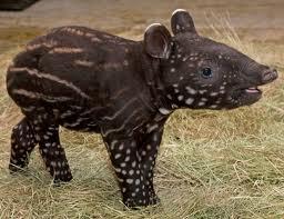 1327863426 tapir2 Тапир чепрачный