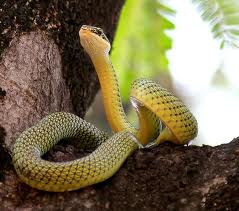 1328536225 zno2 Обыкновенная украшенная змея