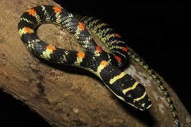 1328536291 zno1 Обыкновенная украшенная змея