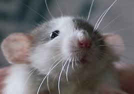 Содержание декоративных крыс.