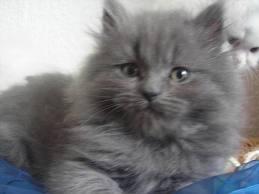 1338134537 per4 Персидская кошка