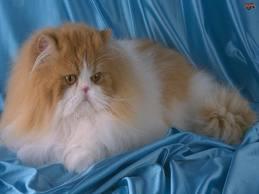 1338134549 per1 Персидская кошка