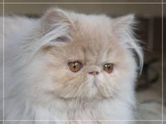 1338134550 per6 Персидская кошка