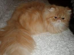1338134614 per2 Персидская кошка