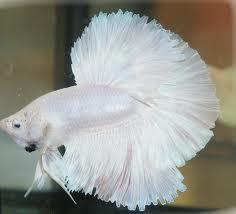1349715197 b2 Бойцовая рыбка
