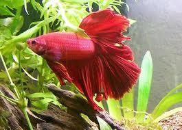 1349715202 b4 Бойцовая рыбка