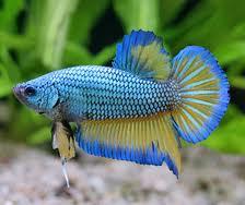 1349715205 b23 Бойцовая рыбка