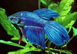 1349715223 b1 Бойцовая рыбка