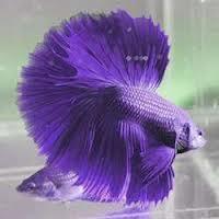 1349715246 b3 Бойцовая рыбка