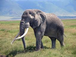 1349887444 s42 Слон африканский