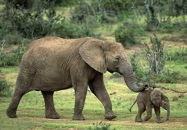 1349887495 s3 Слон африканский