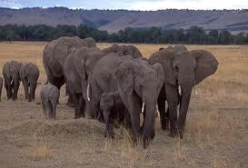 1349887517 s2 Слон африканский