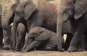 1349887548 s33 Слон африканский