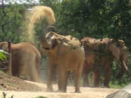 1349887578 s24 Слон африканский
