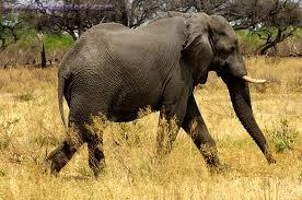 1349887719 s5 Слон африканский