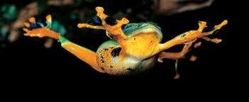 1354188047 zh2 Яванская веслоногая лягушка