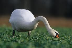 1354808734 l22 Лебедь шипун