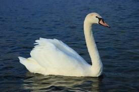 1354808786 l1 Лебедь шипун