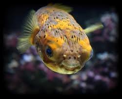 1355153151 r32 Длинноиглая рыба ёж