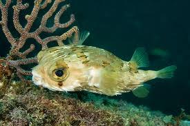 1355153348 r14jpg Длинноиглая рыба ёж