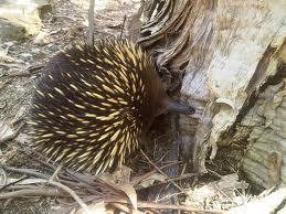Австралийская ехидна.