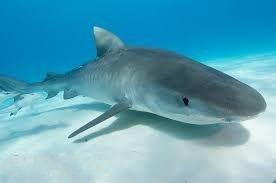 1371911126 a12 Тигровая акула