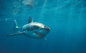 1371911140 a3 Тигровая акула