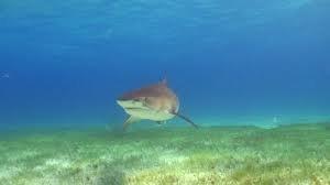 1371911162 a22 Тигровая акула