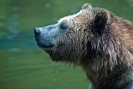 1374331657 m2 Медведь бурый евразийский