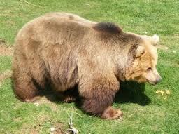 1374331683 m5 Медведь бурый евразийский
