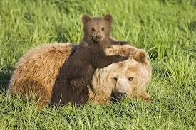 1374331733 m42 Медведь бурый евразийский