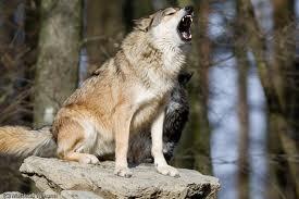 1374346530 v22 Волк обыкновенный