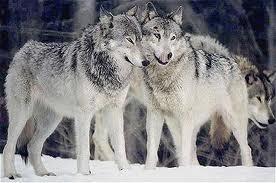 1374346581 v1 Волк обыкновенный