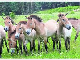 1374677785 k1 Лошадь Пржевальского