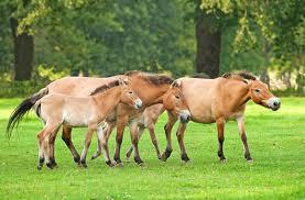 1374677796 k22 Лошадь Пржевальского
