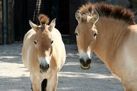 1374677804 k12 Лошадь Пржевальского