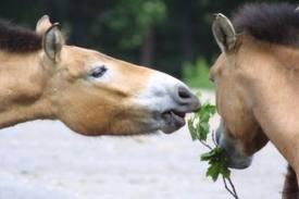1374677826 k43 Лошадь Пржевальского