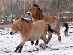 1374677846 k2 Лошадь Пржевальского