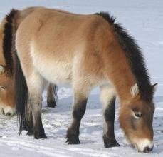 1374677850 k5 Лошадь Пржевальского