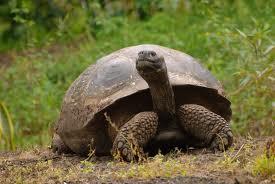 1376056671 x2 Слоновая черепаха