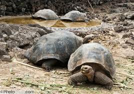 1376056674 x3 Слоновая черепаха