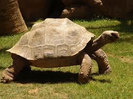 1376056716 x5 Слоновая черепаха