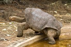 1376056717 x4 Слоновая черепаха