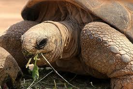 1376056717 x52 Слоновая черепаха