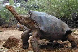 1376056731 x1 Слоновая черепаха