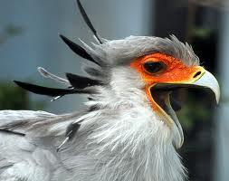 1376479422 s1 Птица секретарь