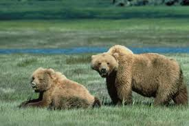 1380964054 m42 Медведь гризли