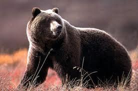 1380964092 m22 Медведь гризли