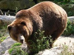 1380964118 v1 Медведь гризли